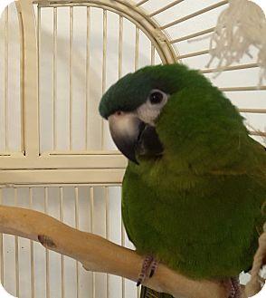 Macaw for adoption in Grandview, Missouri - Birdie