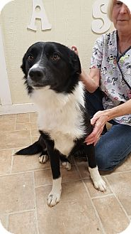 Border Collie Mix Dog for adoption in Cody, Wyoming - Salsa