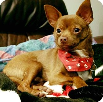 Chihuahua Puppy for adoption in Livonia, Michigan - Tucker-ADOPTED