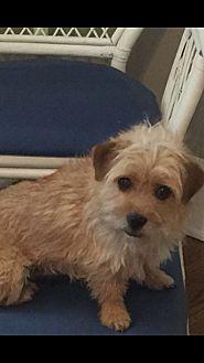 Norwich Terrier Mix Dog for adoption in Sagaponack, New York - Logan