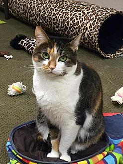 Domestic Shorthair Cat for adoption in San Carlos, California - Penelope