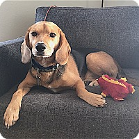 Adopt A Pet :: Copper - Houston, TX