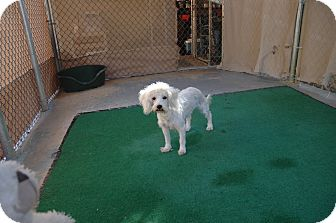 Poodle (Miniature) Mix Dog for adoption in San Antonio, Texas - Holly