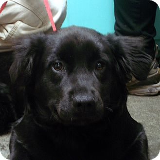 Springer Spaniel Mix Puppy for adoption in Greencastle, North Carolina - Moe