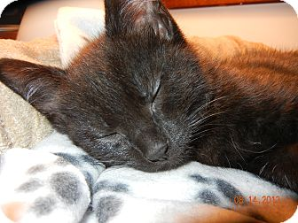 Domestic Shorthair Kitten for adoption in Southington, Connecticut - Frosty