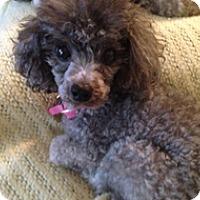 Adopt A Pet :: ABBIE - Melbourne, FL