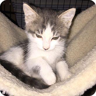 Domestic Shorthair Cat for adoption in La Canada Flintridge, California - Star