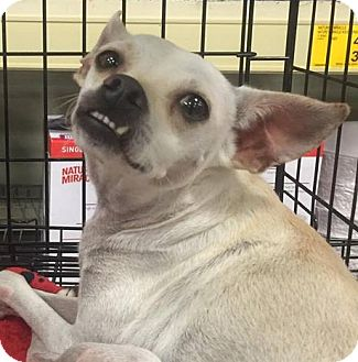 Chihuahua Mix Dog for adoption in Gainesville, Florida - Snow