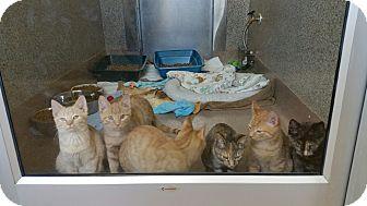 Domestic Shorthair Kitten for adoption in Chambersburg, Pennsylvania - Freddie