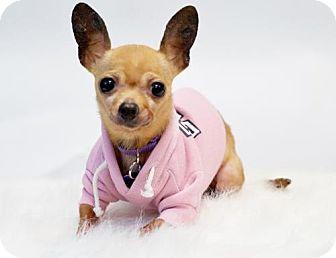 Chihuahua Dog for adoption in Pittsburg, California - *Acana Kibble