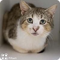 Adopt A Pet :: Filbert - Merrifield, VA