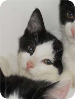 Domestic Shorthair Cat for adoption in Maywood, New Jersey - Patch