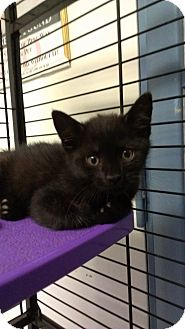 Domestic Shorthair Kitten for adoption in Richboro, Pennsylvania - John Forsythe