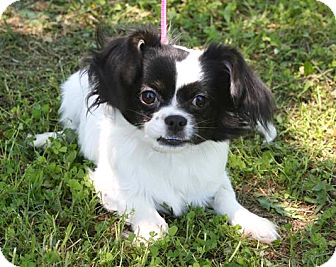 Cavalier King Charles Spaniel/Chihuahua Mix Puppy for adoption in Westport, Connecticut - *Wrigley - PENDING