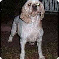Adopt A Pet :: Honey - Tacoma, WA