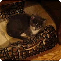 Adopt A Pet :: Azul - Muncie, IN