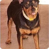 Adopt A Pet :: Preston - Phoenix, AZ