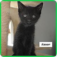 Adopt A Pet :: Raven - Miami, FL