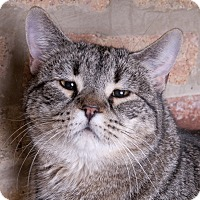 Domestic Shorthair Cat for adoption in Chicago, Illinois - Katrina