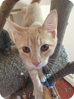 Domestic Shorthair Kitten for adoption in North Haven, Connecticut - Katherine