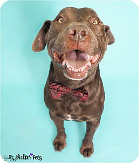 American Pit Bull Terrier/Labrador Retriever Mix Dog for adoption in Phoenix, Arizona - Champ