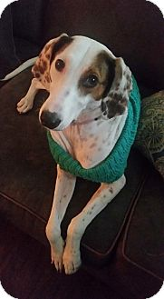 Greyhound/Brittany Mix Dog for adoption in Cleveland, Ohio - Lolly