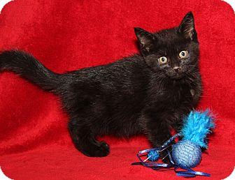 Domestic Shorthair Kitten for adoption in Marietta, Ohio - Kenny (Neutered)