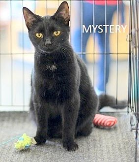 Domestic Shorthair Cat for adoption in Concord, North Carolina - Mystery