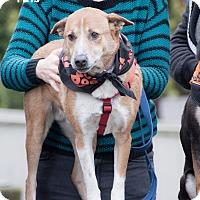 Adopt A Pet :: Lincoln - Seattle, WA