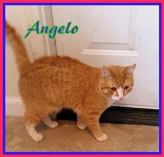 Domestic Shorthair Cat for adoption in Berkeley Springs, West Virginia - Angelo