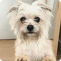 Adopt A Pet :: Patsy! - New York, NY