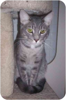 Domestic Shorthair Cat for adoption in St. Louis, Missouri - Leo