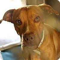 Adopt A Pet :: ANGEL - Higley, AZ