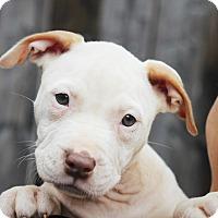 Adopt A Pet :: Storm - Reisterstown, MD