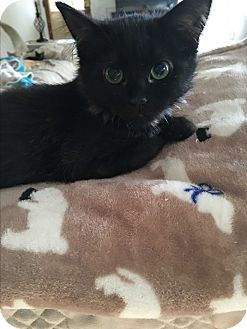 Domestic Longhair Kitten for adoption in Mount Laurel, New Jersey - Tierney