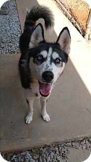 Husky Dog for adoption in Gainesville, Georgia - Jangles