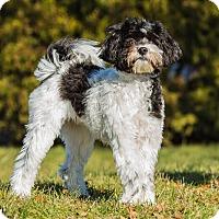 Adopt A Pet :: Benji - Ile-Perrot, QC