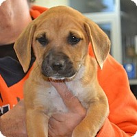 Adopt A Pet :: Rosie Girl - McKinney, TX