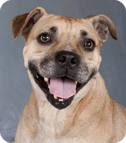 Pit Bull Terrier/Pug Mix Dog for adoption in Chicago, Illinois - Pebbles