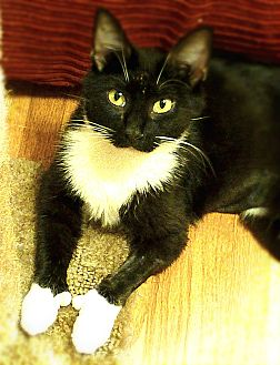 Polydactyl/Hemingway Cat for adoption in Chattanooga, Tennessee - Polly