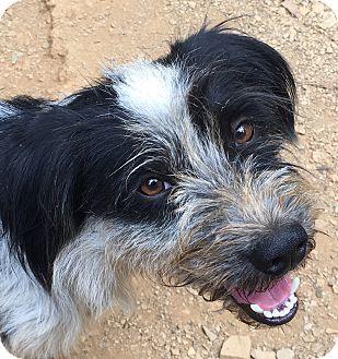 Terrier (Unknown Type, Medium)/Schnauzer (Standard) Mix Dog for adoption in Spring Valley, New York - Skeeter