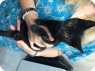 Domestic Shorthair Kitten for adoption in North Wilkesboro, North Carolina - Basil