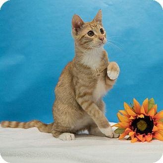 Domestic Shorthair Kitten for adoption in Houston, Texas - Phelps