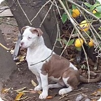 Adopt A Pet :: GRACE - Rancho Cucamonga, CA