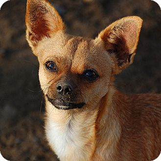 Chihuahua Dog for adoption in Burlingame, California - Ariel