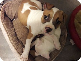 Pit Bull Terrier Mix Puppy for adoption in Hainesville, Illinois - Chewie