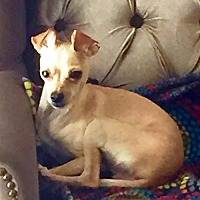 Adopt A Pet :: Cianni - Westminster, CO