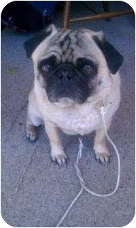 Pug Dog for adoption in Eagle, Idaho - Moses