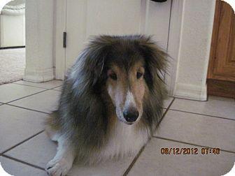 Sheltie, Shetland Sheepdog Dog for adoption in apache junction, Arizona - Max