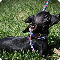 Adopt A Pet :: SGT Stubby - Broomfield, CO